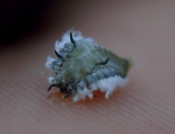 Coccinellid larva - Thalassa montezumae