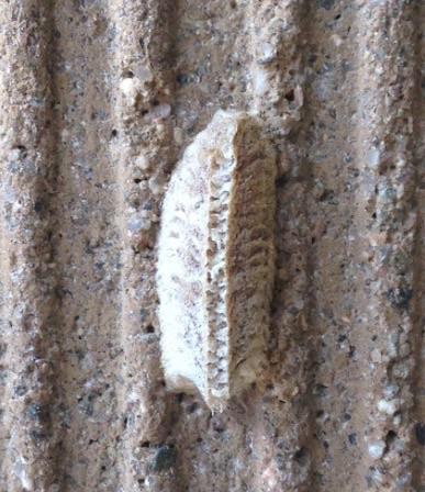 Mediterranean Mantis Ootheca - Iris oratoria