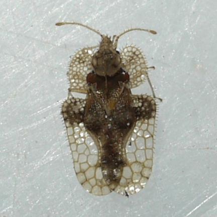 Lace Bug - Corythucha ulmi
