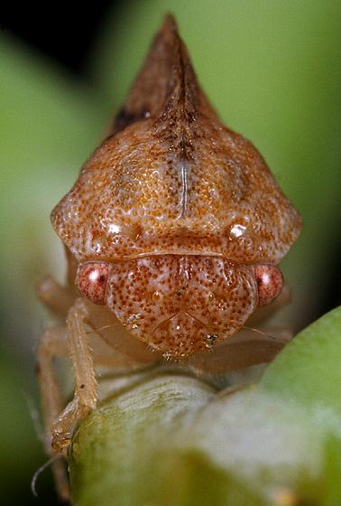Hopper ID - Carynota marmorata