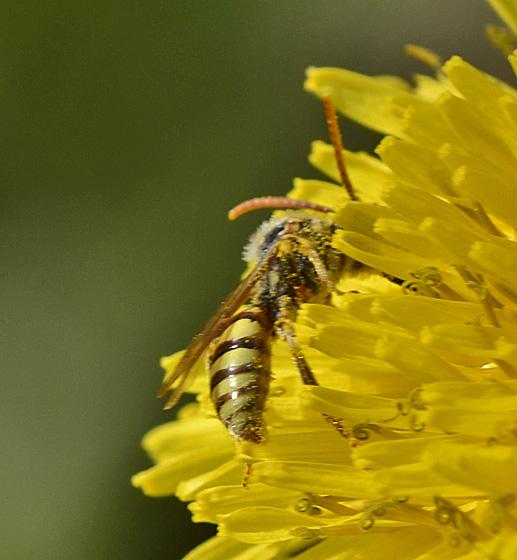 Wasp perhaps 6612 & 6615 - Nomada - male