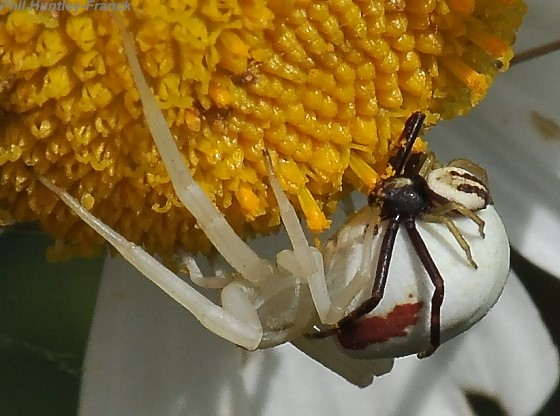Spiders mating - Misumena vatia - male - female