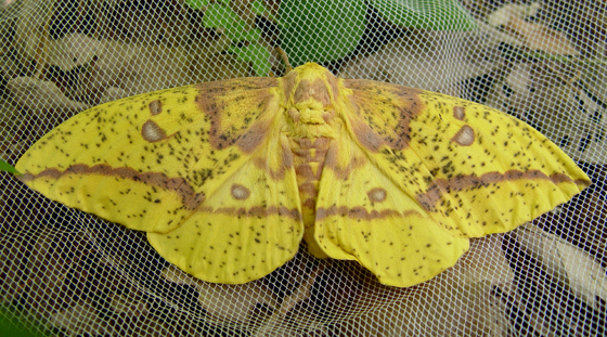 Saturniidae, Imperial - Eacles imperialis - female