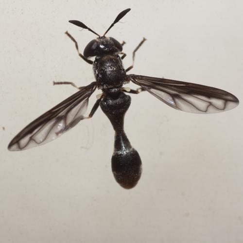 Hover Fly - Rhopalosyrphus ramulorum - male