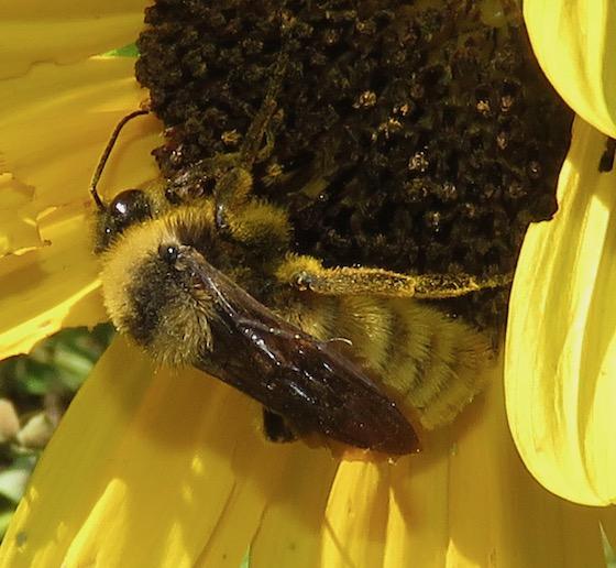 Unk Bumblebee - Bombus pensylvanicus