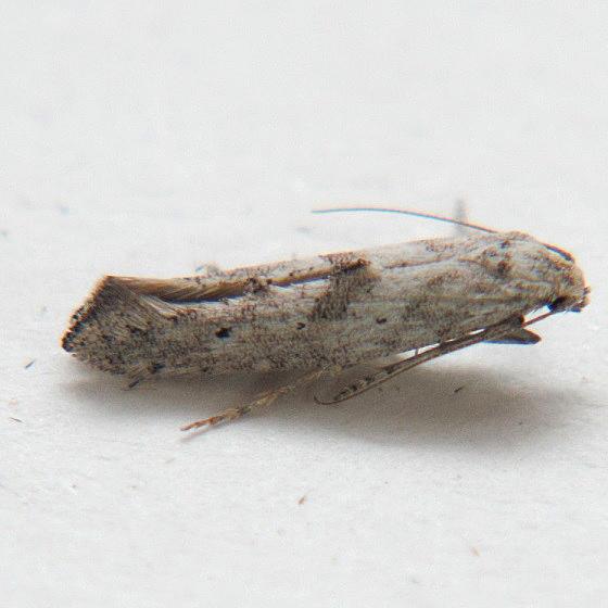 Ochromolopis ramapoella - Hodges #2334