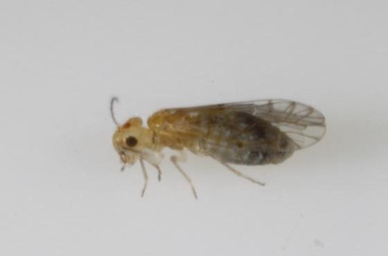 Lachesilla yucateca Mockford - Lachesilla yucateca - female