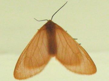 Unk  Moth #65 - Eubaphe unicolor