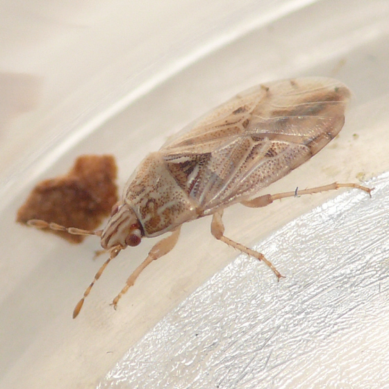 Artheneidae - Holcocranum saturejae
