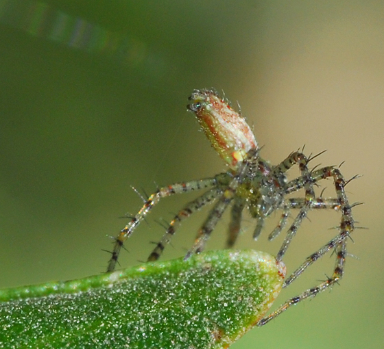 baby lynx spider - Peucetia viridans