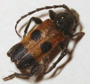 unknown cerambycid - Semanotus ligneus