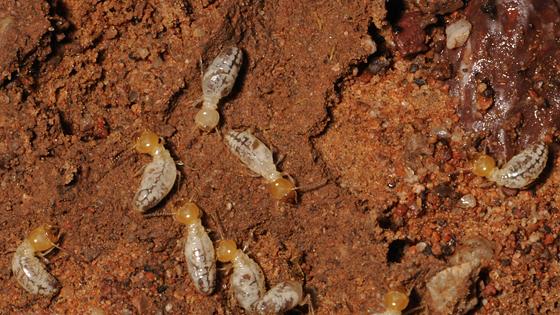 Subterranean Termite - Gnathamitermes