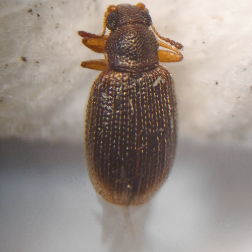 Another very tiny beetle - Cortinicara gibbosa