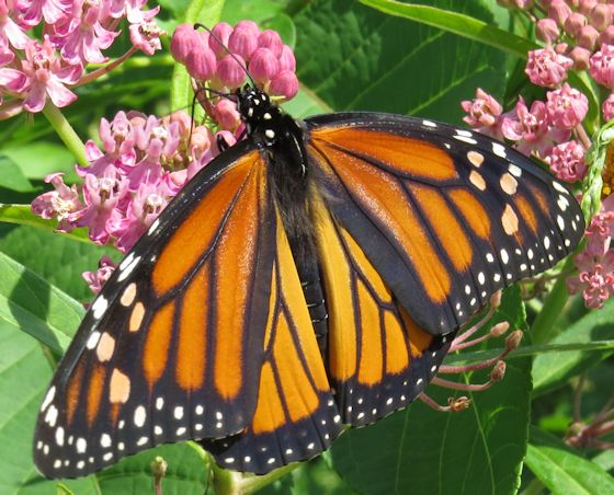 Monarch - Hodges#4614 - Danaus plexippus