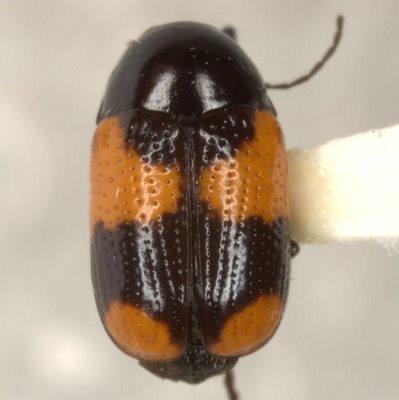 Cryptocephalus b. binominis Newman - Cryptocephalus binominis