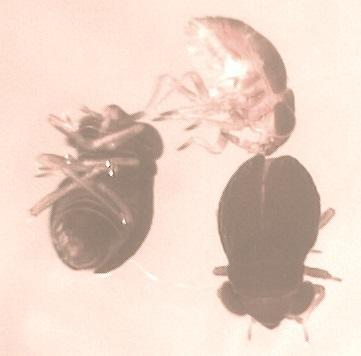 Glyptocombus saltator
