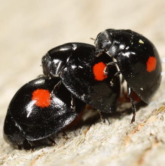 Twice-stabbed lady beetles - Chilocorus stigma - male - female
