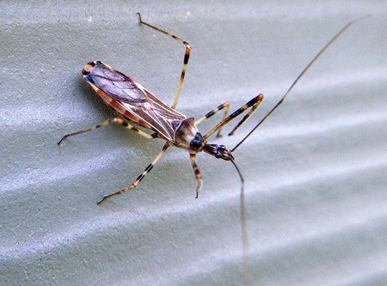 Assassin Bug? - Zelus tetracanthus