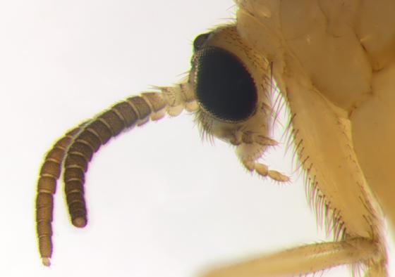 Diptera, antennae & head - Symmerus lautus - male