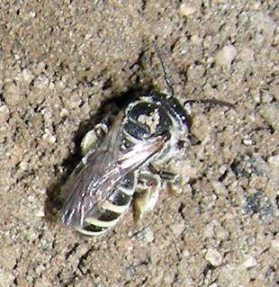 Ground nesting bee - Nomia - female