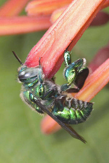 Orchid bee - Euglossa dilemma - male