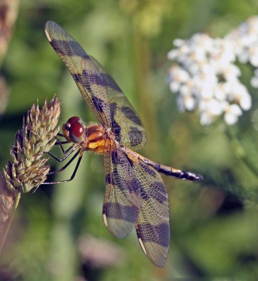Unidentified Dragonfly - Celithemis eponina