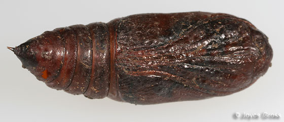 pupa - Archytas apicifer