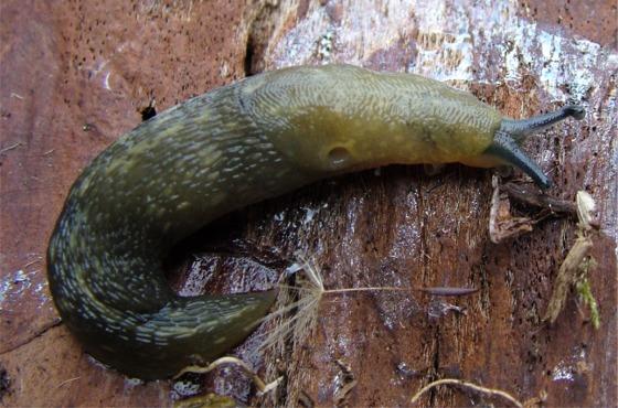 Green Slug