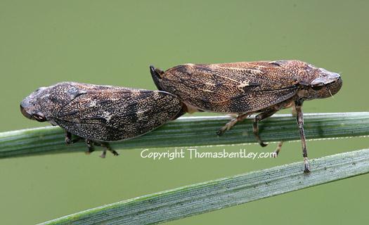 Pine Tree Hoppers - Aphrophora cribrata - male - female