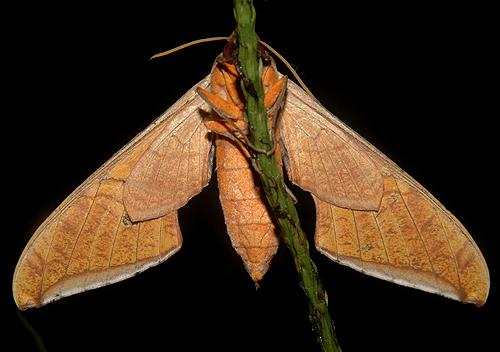 Unknown Sphinx Moth - Protambulyx strigilis