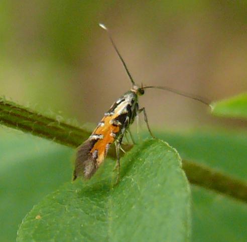 Heliodinidae near Wild 4 O'Clocks - Neoheliodines cliffordi
