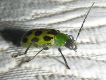 Black-spotted Green Beetle - Diabrotica undecimpunctata