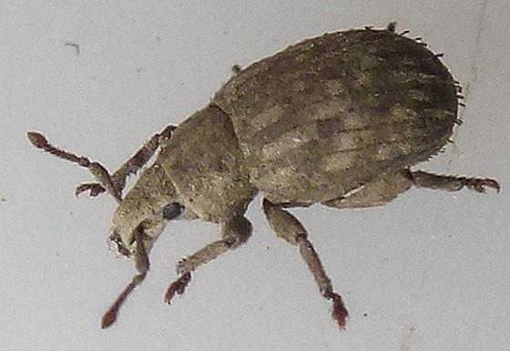 Crusted Root Weevil - Romualdius scaber