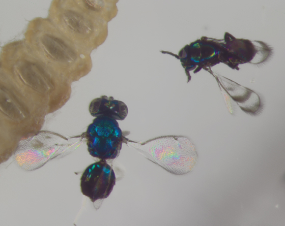 Eulophidae, parasitoid & hyperparasitoid?