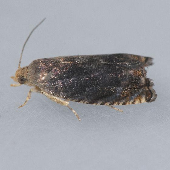 3471 Hickory Shuckworm  - Cydia caryana
