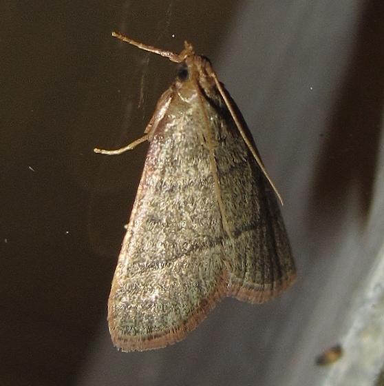 Hodges #5531 - Southern Hayworm Moth - Hypsopygia nostralis