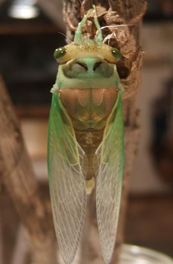 Tibicen Chloromera Teneral - Neotibicen tibicen - male