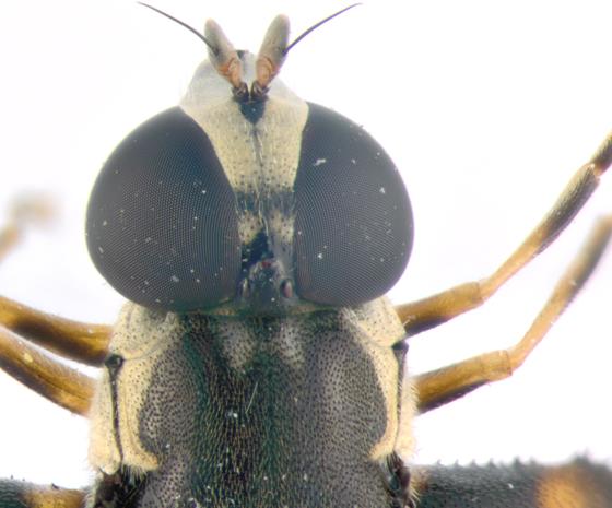 Syrphidae, head - Syritta pipiens