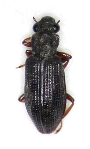 Hydrochus squamifer - male