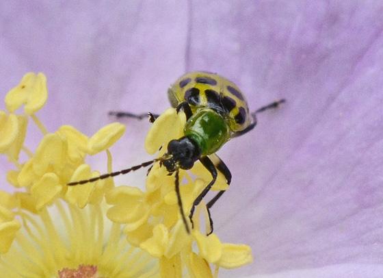Spotted Cucumber Beetle 593A 9001 & 9003 - Diabrotica undecimpunctata
