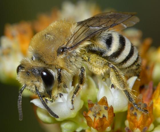 Andrenidae ?? - Colletes slevini - female