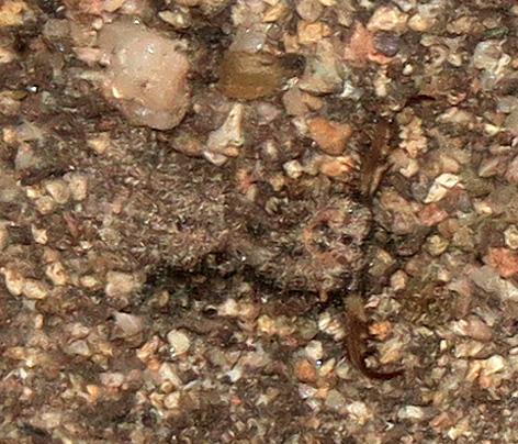 Myrmeleon larva in pit - Myrmeleon