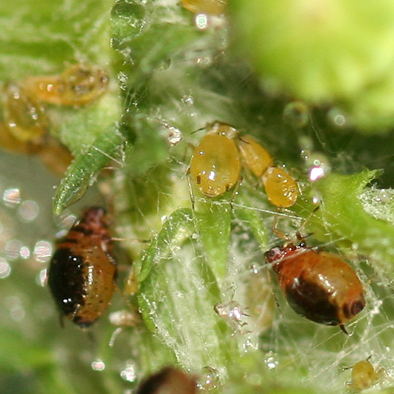 Fat tan and black aphids on tansy - Brachycaudus cardui