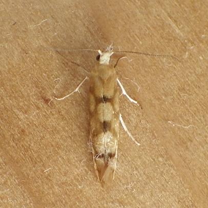 Argyresthiidae: Argyresthia alternatella - Argyresthia alternatella
