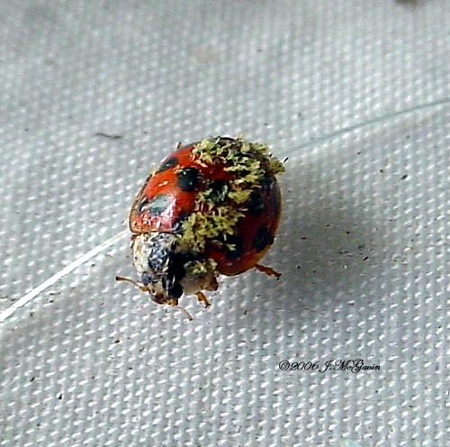 Moldy Ladybug? - Harmonia axyridis