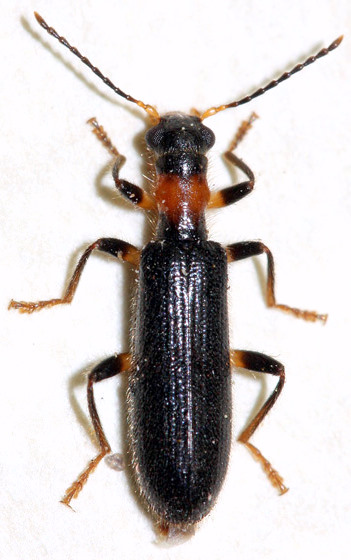 Beetle with a Long Neck - Cymatodera bicolor