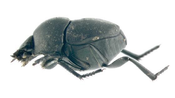 Scarabaeidae, lateral - Melanocanthon nigricornis