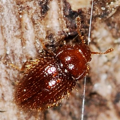 Rotting tree dweller 22 (beetle) - Mycetaea subterranea