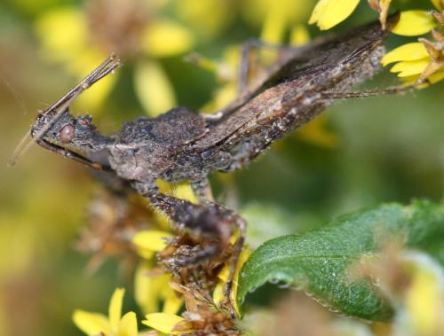 Sinea spinipes - Sinea