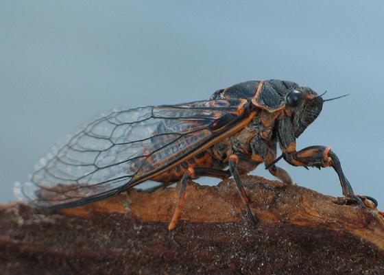 Cicada - Okanagana bella